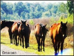 Dylan Payne's Prairie horses